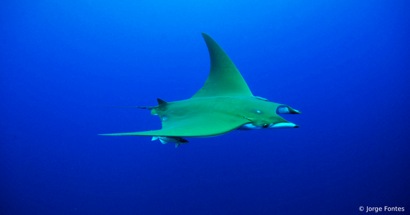 Overfiskeri og bifangst truer europæiske hajer og rokker