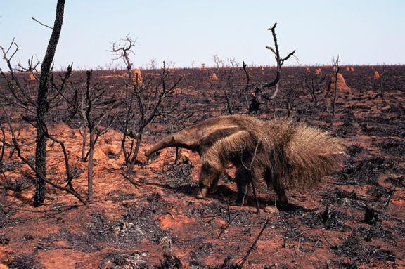 Dyrene brænder i Brasilien